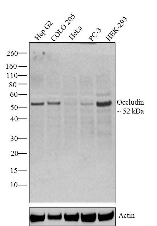 Occludin Antibody (33-1500) in Western Blot