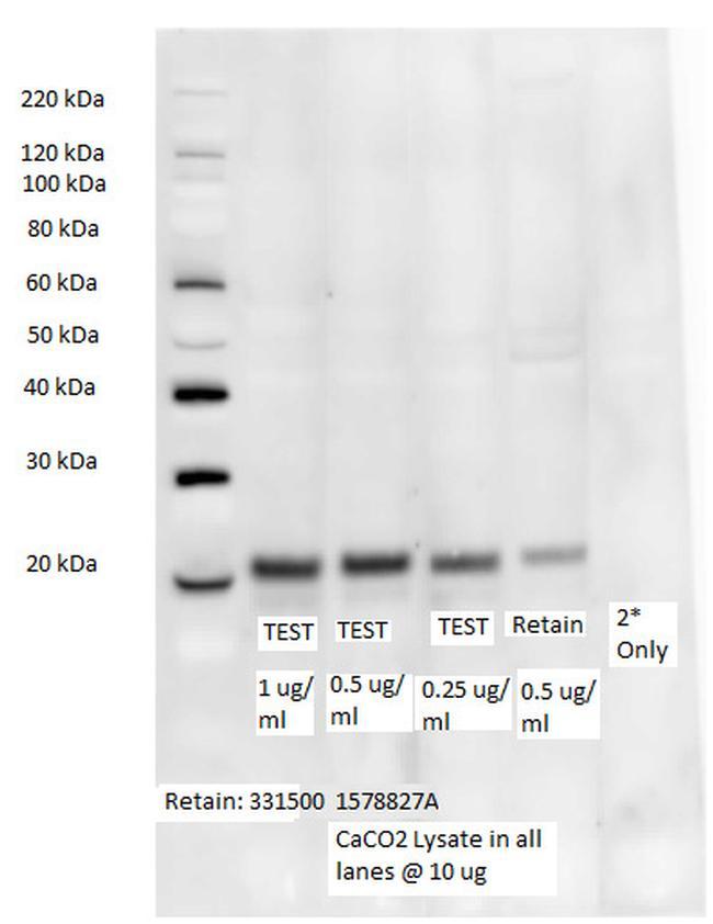 Occludin Antibody (331594) in Western Blot