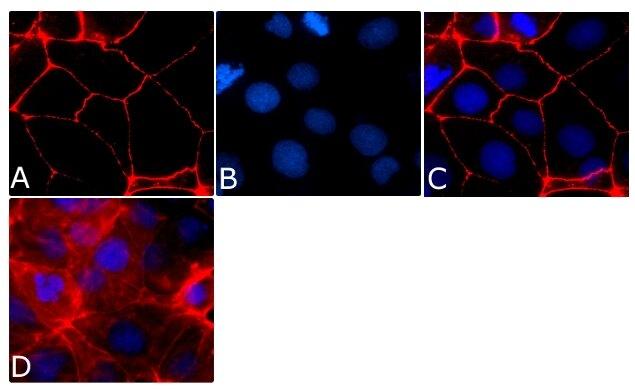 Occludin Antibody (331594) in Immunofluorescence