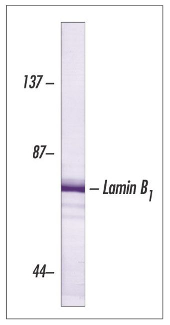 Lamin B1 Antibody (33-2000) in Western Blot