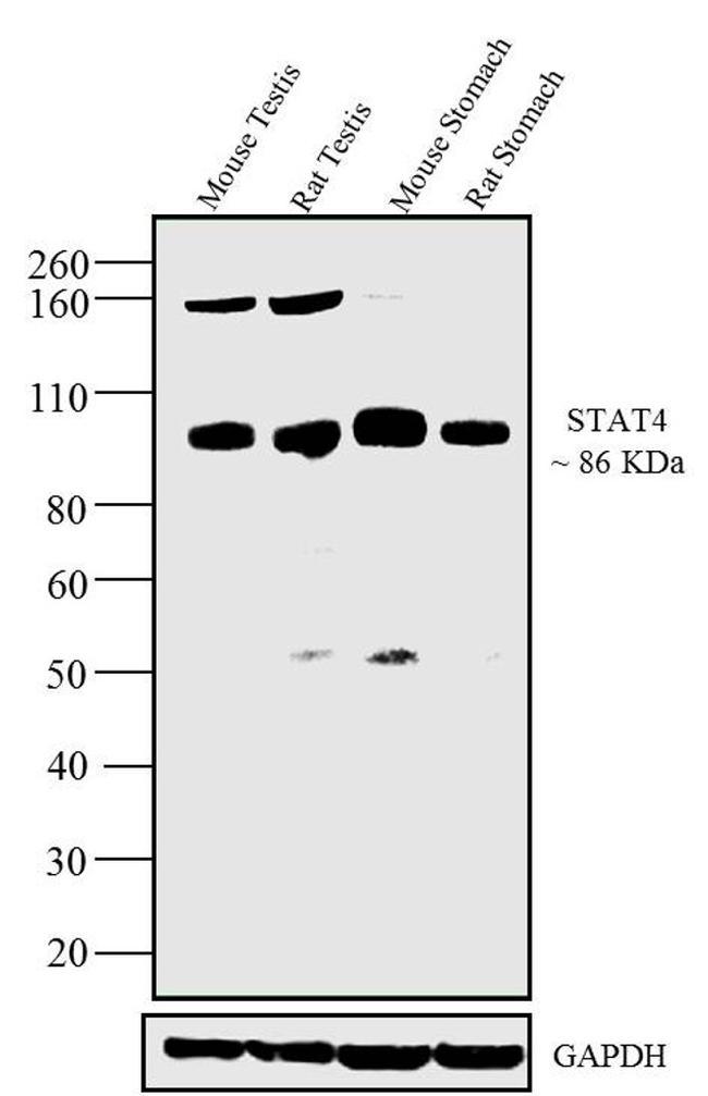 STAT4 Antibody (33-2300)