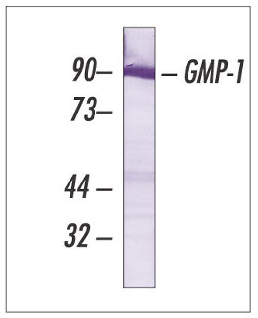 SUMO1 Antibody (33-2400) in Western Blot