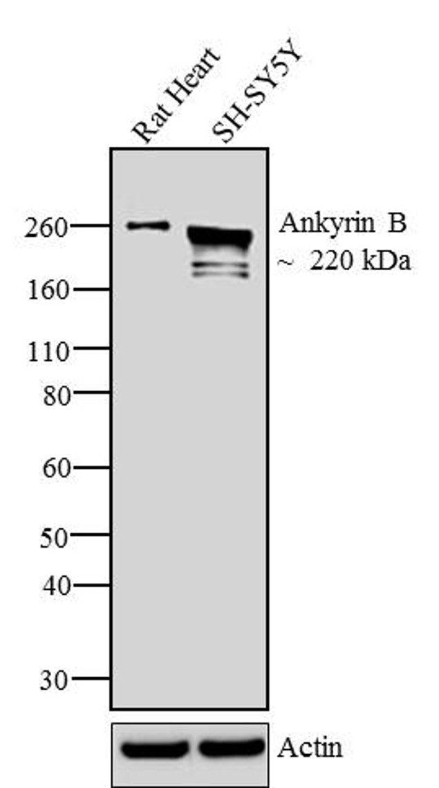 Ankyrin B Antibody (33-3700) in Western Blot