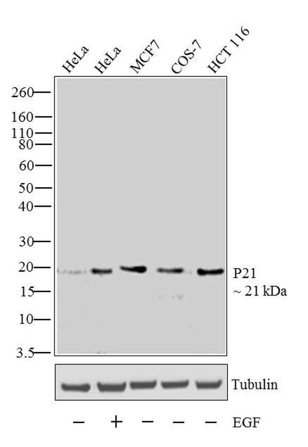 p21 Antibody (33-7000) in Western Blot
