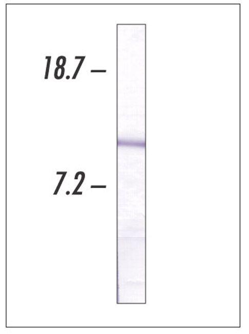 Cytochrome C Antibody (33-8500)