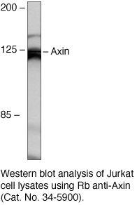 AXIN1 Antibody (34-5900)