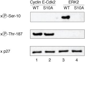 Phospho-p27 Kip1 (Ser10) Antibody (34-6300) in Western Blot