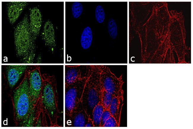 Securin Antibody (34-1500) in Immunofluorescence