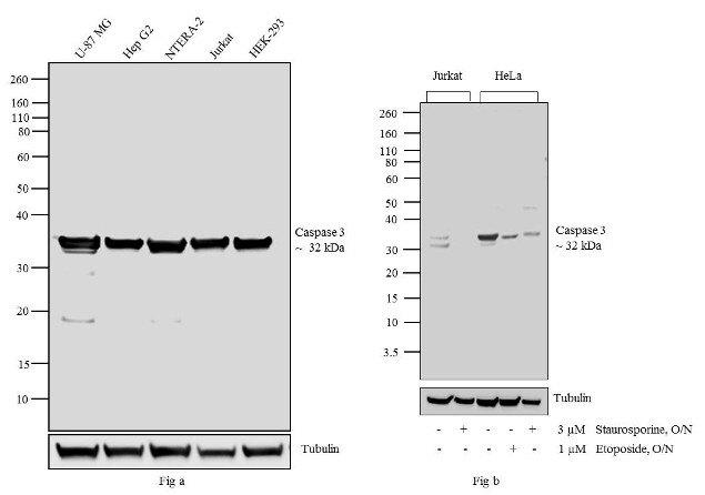 Caspase 3 Antibody (35-1600Z)