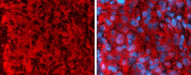Rabbit IgG (H+L) Secondary Antibody (35560) in Immunohistochemistry (Frozen)