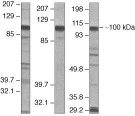 VAV2 Antibody (36-2000) in Western Blot