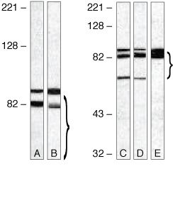 TLR4 Antibody (36-3700) in Western Blot