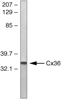Connexin 36  Antibody (36-4600) in Western Blot