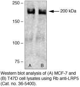 LRP5 Antibody (36-5400) in Western Blot