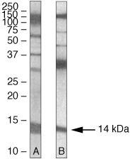 PEN2 Antibody (36-7100) in Western Blot