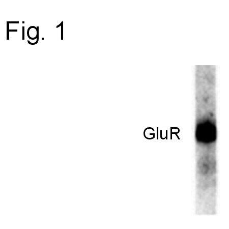 Phospho-GluR1 (Ser831) Antibody (36-8200)