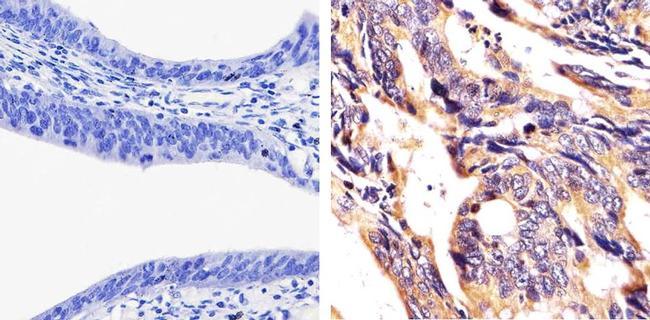 JAM1 Antibody (36-1700)