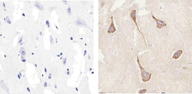 Connexin 47 Antibody (36-4700) in Immunohistochemistry (Paraffin)
