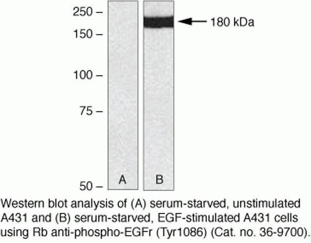 Phospho-EGFR (Tyr1086) Antibody (36-9700) in Western Blot