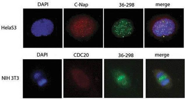 PLK1 Antibody (37-7100) in Immunofluorescence