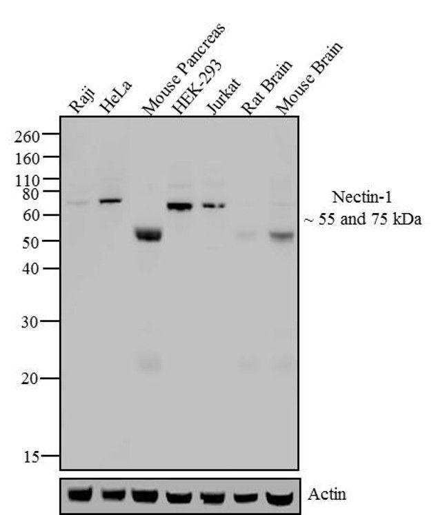 Nectin 1 Antibody (37-5900) in Western Blot