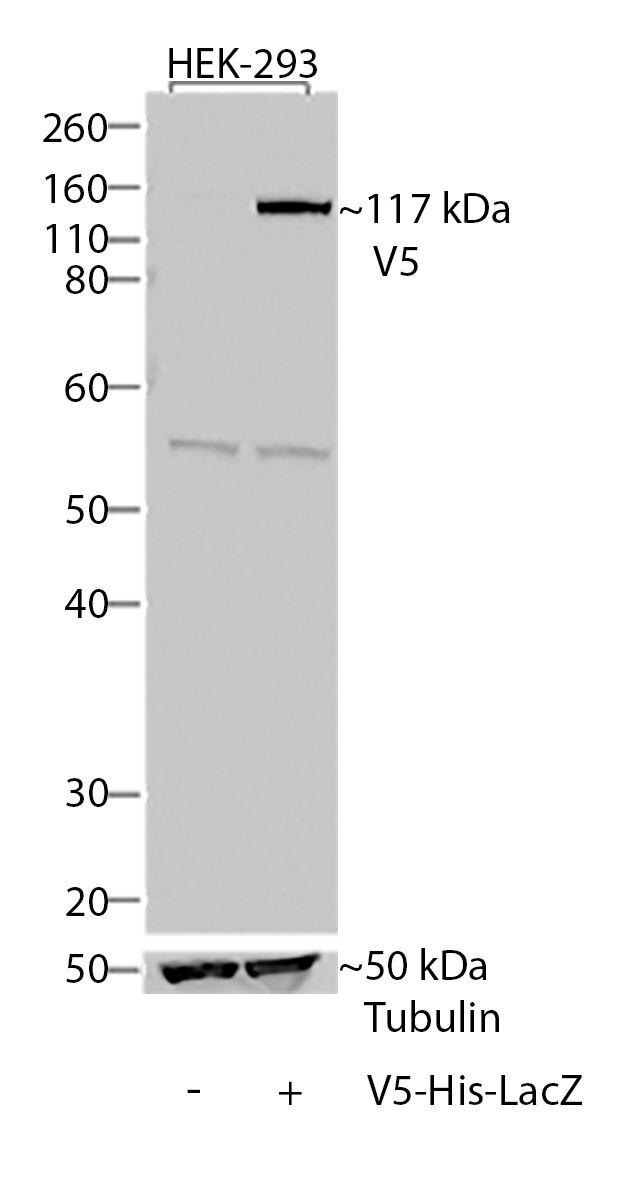 V5 Tag Antibody (37-7500) in Western Blot