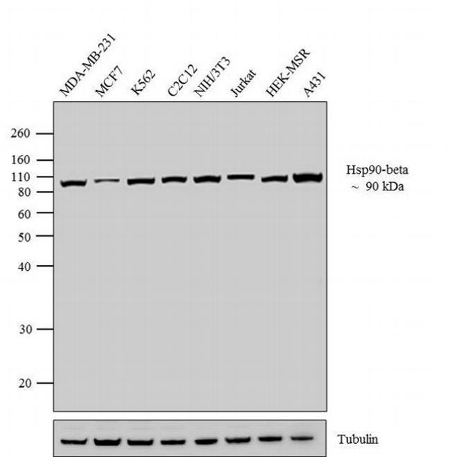 HSP90 beta Antibody (37-9400) in Western Blot