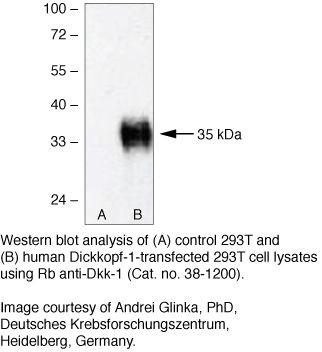 DKK1 Antibody (38-1200) in Western Blot
