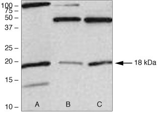 UBC9 Antibody (38-3000)