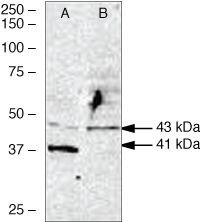 WNT2B Antibody (38-3500) in Western Blot