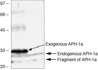 APH1 Antibody (38-3600) in Western Blot