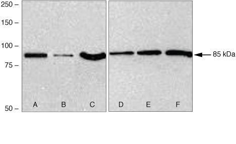 FZD2 Antibody (38-4700) in Western Blot