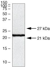 Claudin 10 Antibody (38-8400) in Western Blot