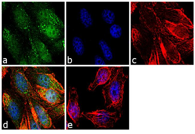 SENP1 Antibody (38-3350) in Immunofluorescence
