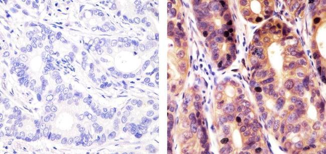 SOCS1 Antibody (38-5200)