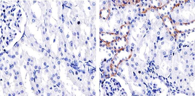 Claudin 10 Antibody (38-8400)
