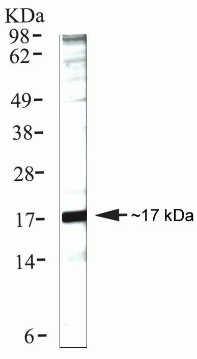 Cyclophilin A Antibody (39-1100) in Western Blot