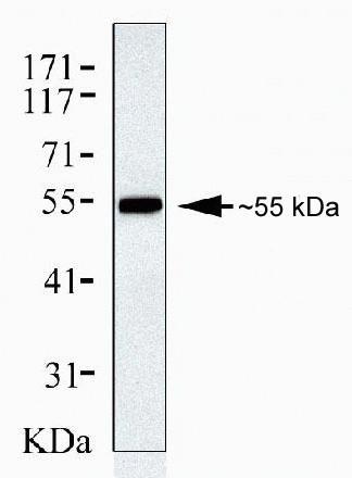 beta Arrestin 1 Antibody (39-5000) in Western Blot