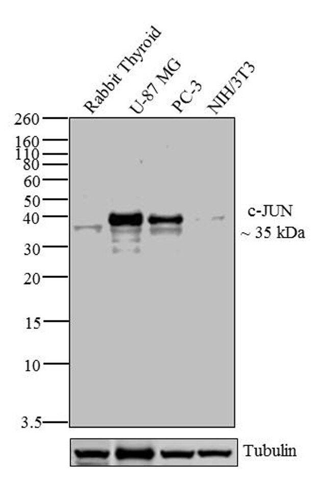 c-Jun Antibody (39-7500) in Western Blot