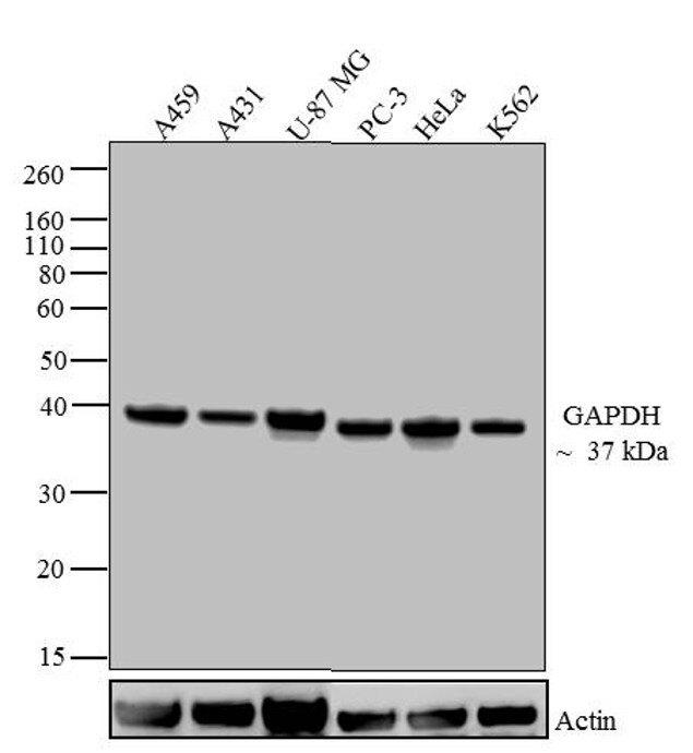 GAPDH Antibody (39-8600) in Western Blot