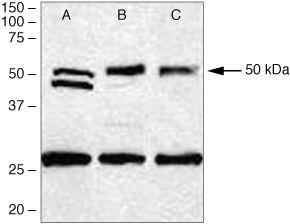 PDGF-D Antibody (40-2100) in Western Blot