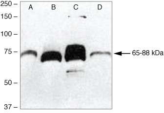 PCDGF Antibody (40-3400)