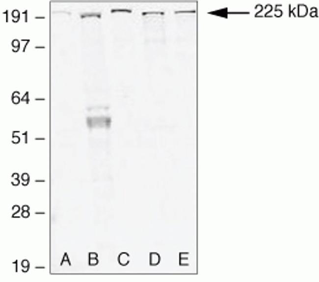 ZO-1 Antibody (40-2300) in Western Blot