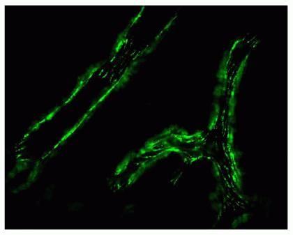 Connexin 37 Antibody (40-4300)