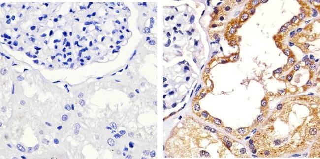 Occludin Antibody (40-4700) in Immunohistochemistry (Paraffin)