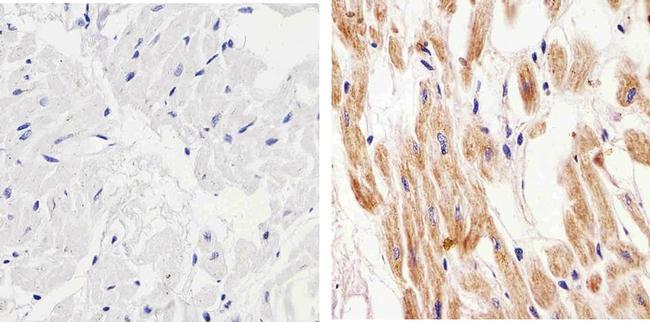 Connexin 57 Antibody (40-5000) in Immunohistochemistry (Paraffin)