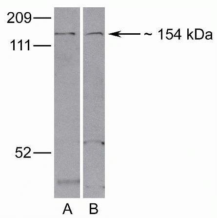 LRP8 Antibody (40-7800)