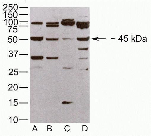 JAM3 Antibody (40-9000) in Western Blot