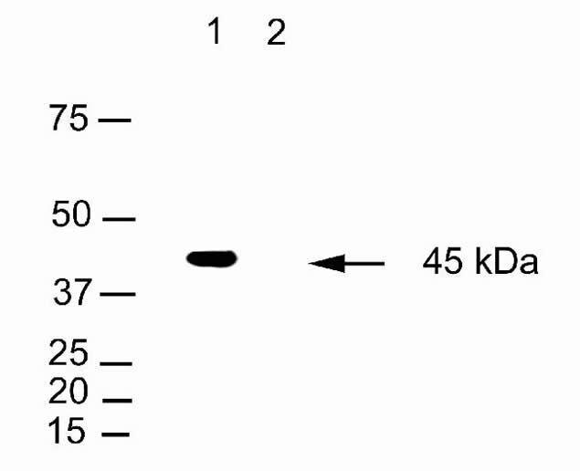 C/EBP beta Antibody (41-5000)
