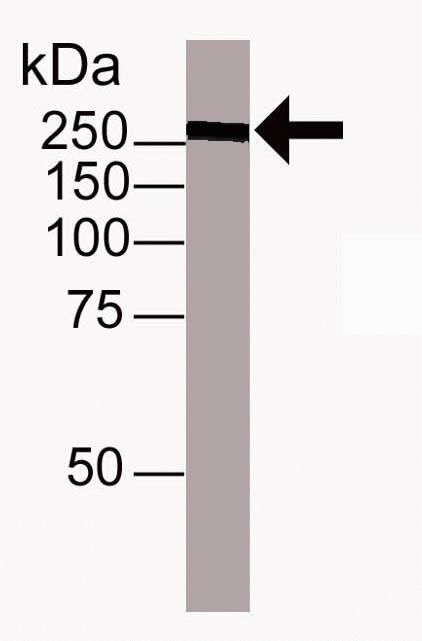 TRA-1-60 Antibody (41-1000) in Western Blot